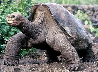 Lonesome George the turtle