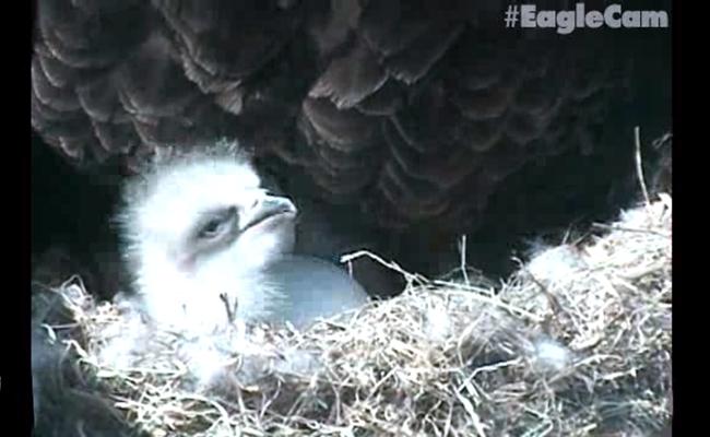 First Eaglet