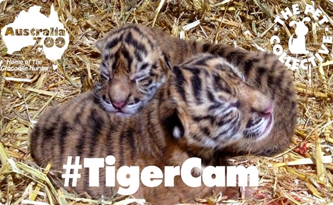tiger-cab-pet-collective