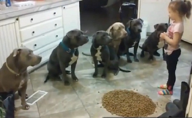 little-girl-controlling-pit-bulls-facebook-video